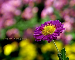 well come september (NURAY YUZBASI) Tags: pink macro green yellow closeup dof purple blossom bokeh details 1855mm 1001nights chrysanthemum mywinners flickrdiamond theunforgettablepictures vosplusbellesphotos