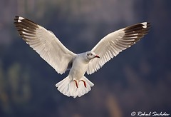 Brown Headed Gull (Rahul Sachdev) Tags: brownheadedgull
