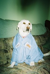 READY FOR WORK (WHITEGIRLSMOM22) Tags: dogs labradors workclothes whitegirls whitelabradors perriconejuices