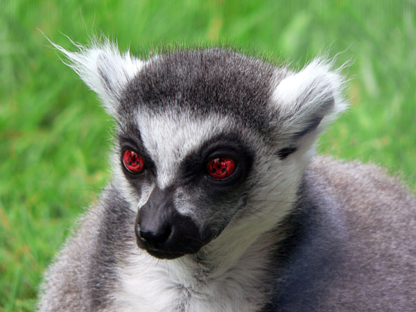 sharinganring-tailed-lemur