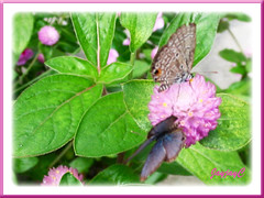 A pair of Chilades pandava, nectar-feeding on Bachelor's Button