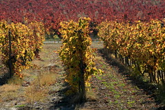 vignes en automne (MALEMORT-DU-COMTAT,FR84)