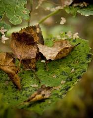 20080923_9999_139c (Fantasyfan.) Tags: autumn macro nature rotting topv111 tag3 taggedout finland garden dead tag2 tag1 spotted oulu leafs alppila fantasyfanin clousep