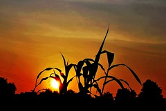 Plant with Sunrise (brsun) Tags: nature sunrise 1001nights cornplants mynature nikond60 heartawards realgem