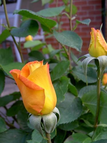 'Rose