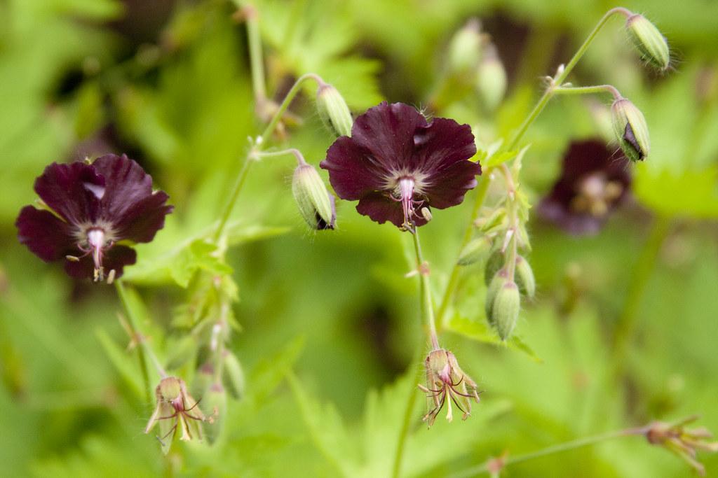 Deep Burgundy Geranium