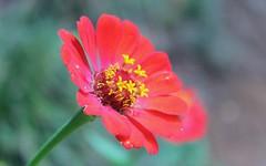 Flower (Arthur Ortega) Tags: brazil plant flower planta brasil canon sopaulo flor sp cmera nazar canonrebelt3i