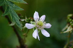 Blooming (In Explore) (Steenjep) Tags: brombær bær blomst flower hvid white rubusplicatus blackberry