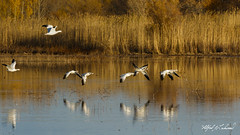 Go Your Own Way_20A8684 (Alfred J. Lockwood Photography) Tags: alfredjlockwood wildlife wildscape bird pond snowgoose snowgeese bosque bosquedelapachewildliferefuge autumn newmexico afternoon reflection