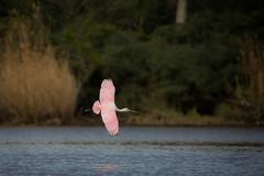 Flyby (gseloff) Tags: roseatespoonbill bird flight bif wildlife pink horsepenbayou pasadena texas kayakphotography gseloff