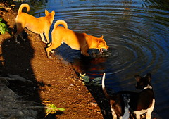 ,, Mama, Rocky, Legs, Swamp ,, (Jon in Thailand) Tags: swamp dog dogs k9 k9s mama rocky legs crazydogs jungle nikon d300 nikkor 175528 3dogs monsters shadow reflection tails jaws ears ripple mrtuffguy rip morningsun