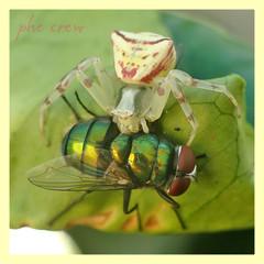 Thomisus onustus & Lucilia sp. (PheCrew) Tags: photoshop bug insect cobweb phe soken macrolife senourrir