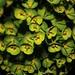 Photo: Euphorbia amygdaloides