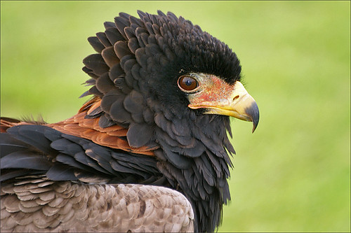 Bateleur Eagle 2