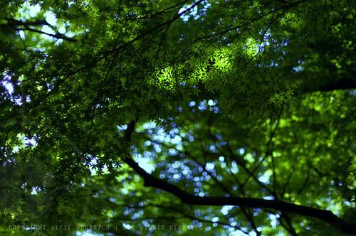 Summer Momiji: Kamakura, Japan