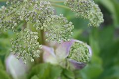 Flowerbud (IMG_6972) (nillasfoton) Tags: flowers blommor flowerbud knopp
