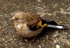 Goldfinch Chick (saxonfenken) Tags: baby birds garden goldfinch chick e510 june10th younster 6957 6957bird