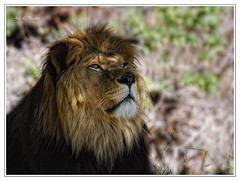 Dedicated to Big Cat Lover (Pecelln) Tags: canon eos lion sigma leon bigcat felinos felino bigcats polaris 170500 sigma170500 50d eos50d canoneos50d grandesfelinos leondelatlas joseluispecellin joselpecellin pecellin idpolaris grandesfelinospecellin pecellinphotographer pecellinphotography