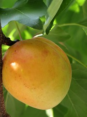 Apricot (LeprechaunHR) Tags: fruit apricot g6