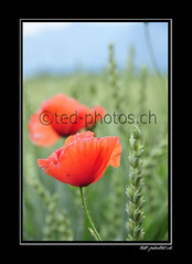 14243 (www.ted-photos.ch) Tags: orange fleur plante rouge suisse champ valais coquelicot flore bl massongex