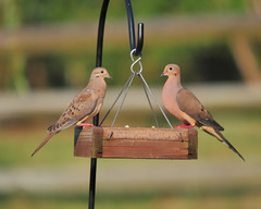 Mourning Dove Couple at the Bird Feeder (thorntm) Tags: bird nature nc charlotte dove birdfeeder mourningdove nikond300 safflowerseed sigma150500 mdtpix t09062601