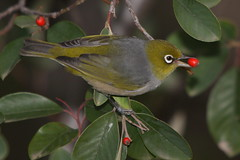 Silvereye with a red berry (kasia-aus) Tags: red bird nature animal berry feeding eating australia canberra 2009 act silvereye cotoneaster zosteropslateralis
