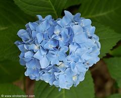 blue-hydrangea.tif