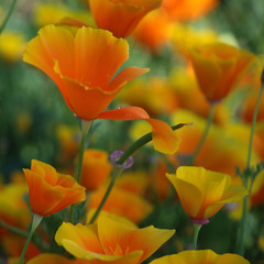 Orange painting (unlimited inspirations) Tags: california ca flowers newzealand summer orange plants baby macro green art love nature floral beautiful beauty yellow garden painting fun lights spring colours dof angle blossom bokeh models best explore nz poppy bloom colourful frontpage unforgettable sunlights hbw doublyniceshot unlimitedinspirations tripleniceshot mygearandme mygearandmepremium mygearandmebronze mygearandmesilver mygearandmegold mygearandmeplatinum mygearandmediamond artistoftheyearlevel3 artistoftheyearlevel4 artistoftheyearlevel5 artistoftheyearlevel6 vigilantphotographersunite vpu2 vpu3 vpu4 vpu5 vpu6 vpu7