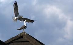 The Attacking Seagul (Grey Hamster) Tags: uk birds scotland edinburgh britain seagull sony attack 350 alpha dslr a a350 ashowoff