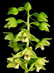 Epipactis viridiflora (E-Infantes) Tags: flowers naturaleza flores flower macro nature fleurs flora blumen fiori