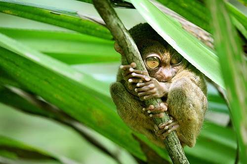 tarsier-philippines-02 by you.