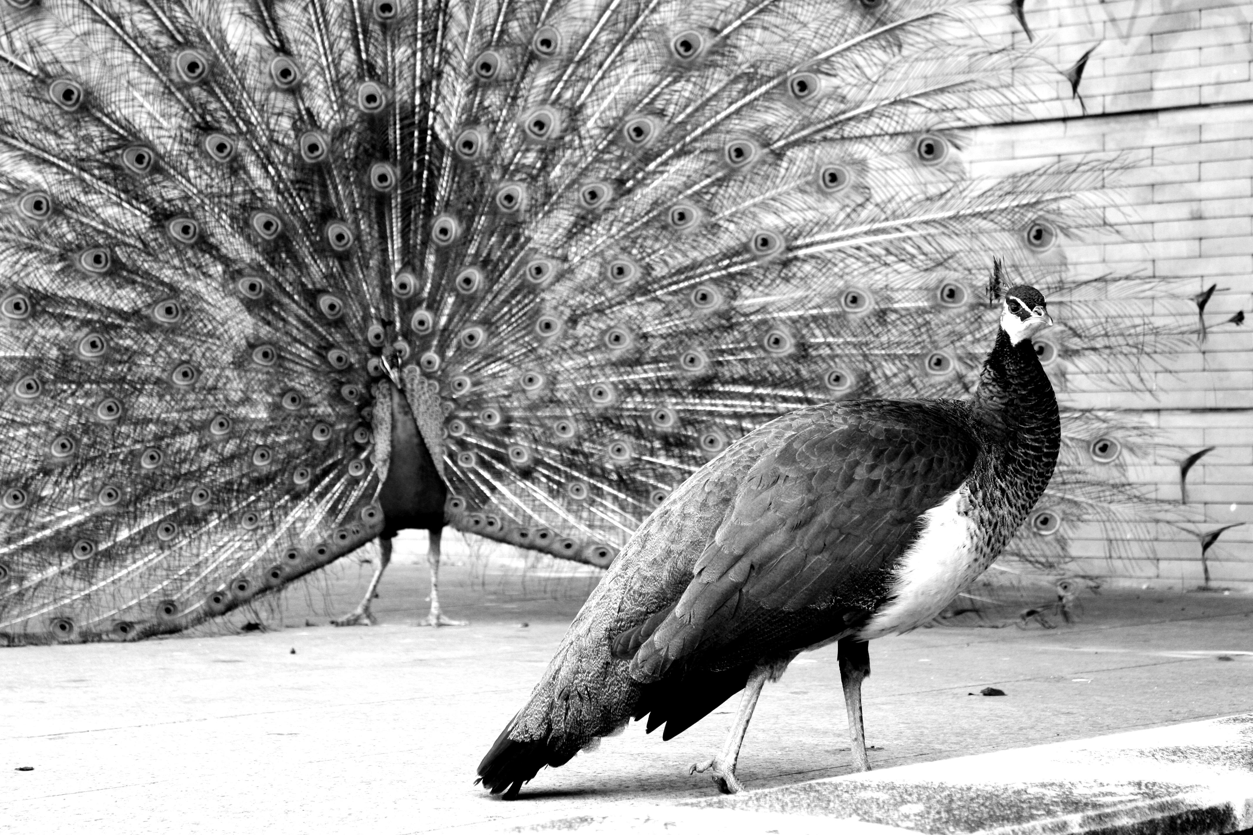 「孔雀の求愛行動 フリー素材」の画像検索結果