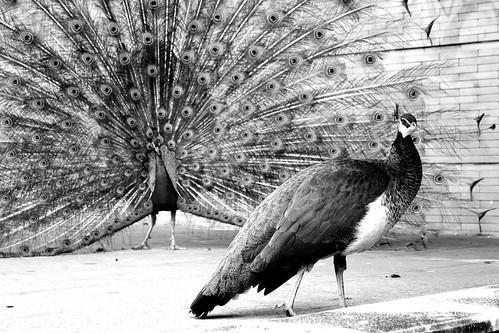 フリー画像| 動物写真| 鳥類| 孔雀/クジャク| 求愛行動| モノクロ写真|      フリー素材|