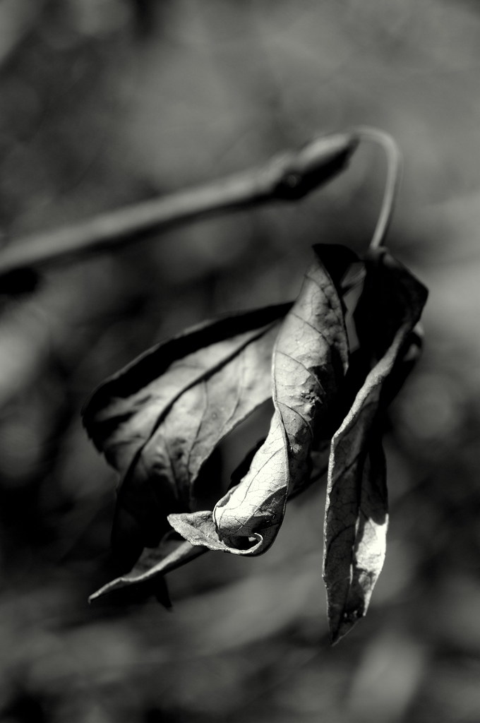 dried leaf with Sigma 17-70mm f/2.8-4.5 and Pentax k20d, bw conversion in Picasa