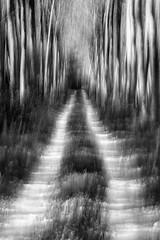 path 1 - entrance (nicola tramarin) Tags: wood bw blur strada italia grove icm pioppi mosso veneto rovigo pioppeto poplargrove polesine intentionalcameramovement nicolatramarin