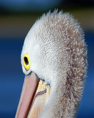 Channeling Ziggy Stardust ..... (Bruce Kerridge) Tags: ocean blue sea white lake fish bird nature water beautiful birds animal nikon marine bokeh wildlife sydney feather australia pelican explore centralcoast weekly avian davidbowie plume wyong ziggystardust theentrance d80 tuggerahlake plusten