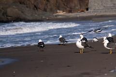 Kabujima (sLipMatt53) Tags: seagulls water japan island boat fishing breeding hachinohe northern sanctuary 2470mmf28l canon50d kabujima