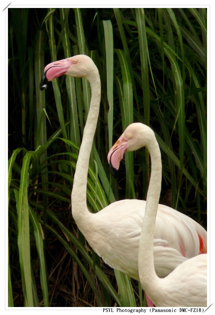 Greater Flamingos (Phoenicopterus ruber) - 大紅鶴