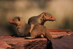 yellow mongoose (felt_tip_felon®) Tags: africa nature tanzania wildlife safari serengeti mongoose yellowmongoose naturesfinest