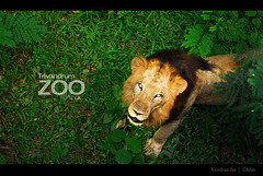 Welcome2Jungle (Ashok A Menon) Tags: green zoo tiger d200 ashok trivandrum 55200 nikond200 flickrbigcats flickrunitedwinner