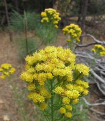 rubber rabbitbrush