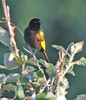 Golden-winged Sunbird (Glen Tepke) Tags: sunbird passeriformes fbwnewbird nectariniidae fbwadded nectariniareichenowi goldenwingedsunbird drepanorhynchus drepanorhynchusreichenowi drepanorhynchusreichenowireichenowi