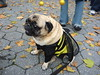 pugoween (m. river) Tags: pugoween