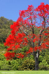 Brachychiton acerifolius - Illawarra Flame Tree (Black Diamond Images) Tags: trees red flower spectacular rainforest native australia nsw queensland malvaceae blackdiamond redflowers nativeplants floweringtree floweringtrees australiannativeplant australiannative sterculiaceae rainforests australianflora australiannatives australiannativeflowers ruralgardens brachychitonacerifolius beautifultrees australianflowers brachychiton australiannativeplants australianplants australiantrees rainforestplants rainforestplant australianrainforest arfp rainforesttrees australianrainforests blackdiamondimages australianrainforesttree australianrainforestplant australianrainforestplants australianrainforesttrees magnificenttrees flowersrainforest beautifulfloweringtrees floweraustralian hannamvale nswrfp qrfp redfloweringtrees australianrainforestflowers arfflowers beautifulaustralianrainforesttrees 1galleries australianfloweringtrees redfp redarfflowers flowersaustralian