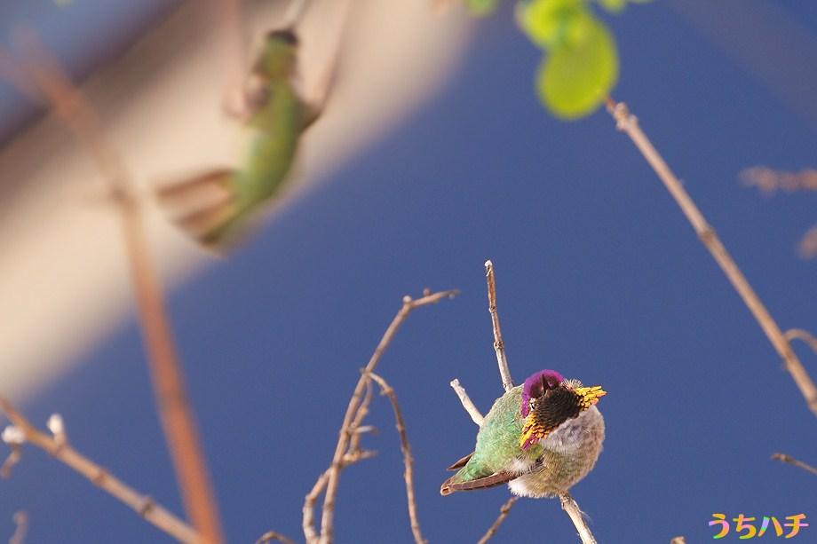Anna's Hummingbird 010111-3