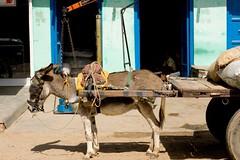 Donkey transport (niyatee) Tags: india rural women village transport donkey cart haryana