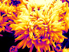 saudi beauty (zbigphotography (1M+ views)) Tags: flowers yellow canon petals middleeast saudi riyadh g12 ringexcellence