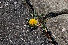 IMG_0002_2 Determination (oldimageshoppe) Tags: wildflower dandelion concretecurb blacktop afternoonsun winter