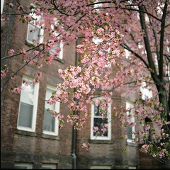 Blossoms of Neighborhood (Inside_man) Tags: pink texture 120 6x6 tlr film window colors facade mediumformat spring colorful minolta bokeh citylife brickwall cherryblossom sprout autocord minoltaautocord fuji400h blossomsofneighborhood