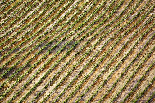 Vineyard Pattern